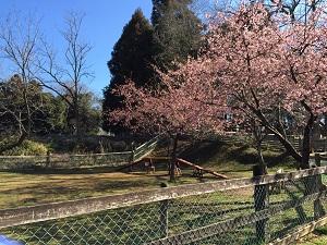 170308ラン桜