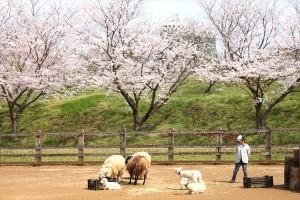 桜風景_9_R